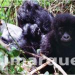Gorilas de montaña. Cómo y dónde visitarlos